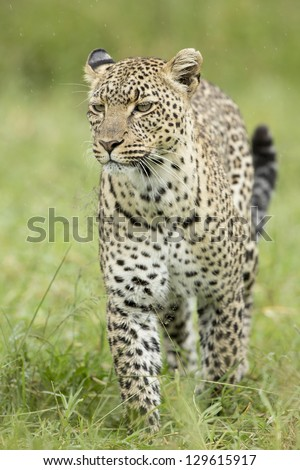 Female African Leopard (Panthera pardus) Serengeti, Tanzania, walking in the rain