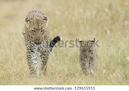 Female African Leopard (Panthera pardus) walking in the Serengeti National Park, with her small cub, Tanzania