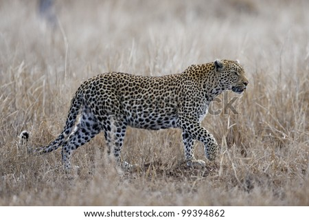 Female African Leopard (Panthera pardus) walking, South Africa