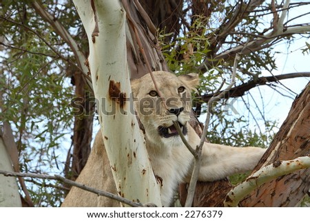 Female african lion in climbing tree showing teeth