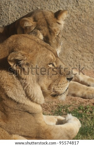 Female African Lion - Panthera leo