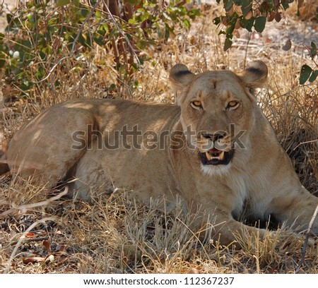 Female African Lion (Panthera leo) in heat in the Kruger National Park, South Africa.