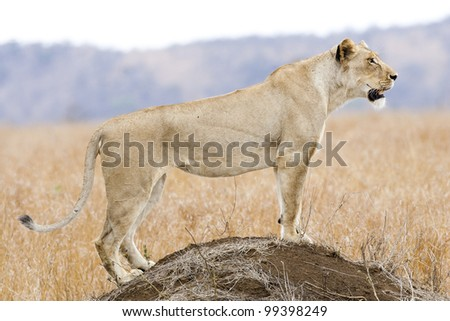 Female African Lion (Panthera leo) on a termite mound, Kruger Park, South Africa