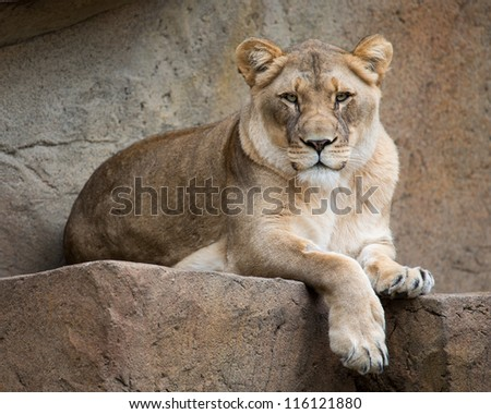 Female African lion (Panthera leo) resting on rocky ledge