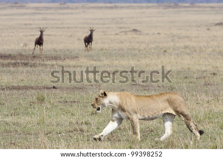 Female African Lion (Panthera leo) walking in Kenya's Masai Mara with two Topi watching