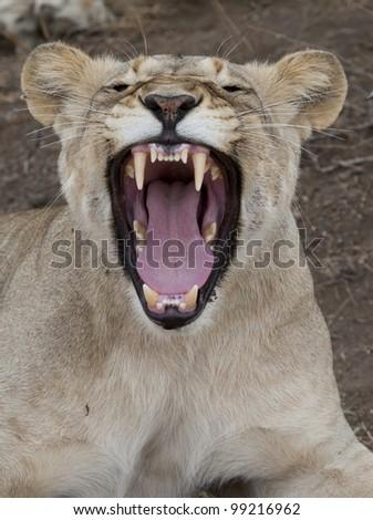 Female african lion (Panthera leo) yawning - stock photo