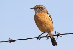 Female African Stonechat perched on a fence