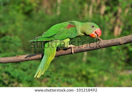 Female Alexandrine Parakeet