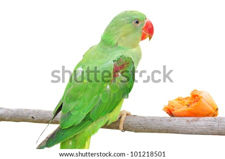 Female Alexandrine Parakeet on white backgroud - stock photo
