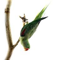 Female Alexandrine Parakeet Upside Down