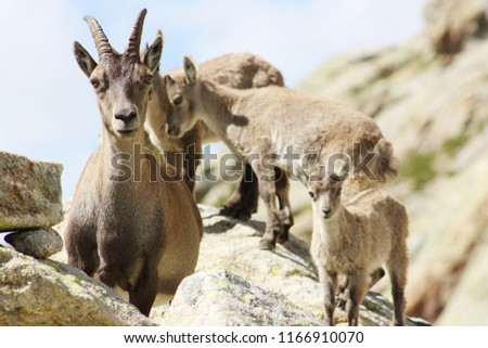 Female Alpine Steinbock with young #1166910070