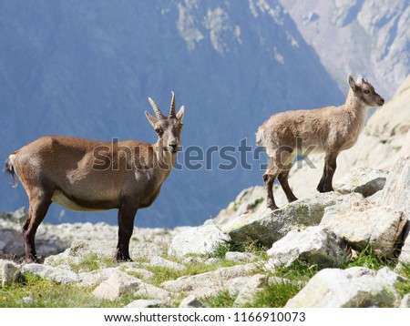 Female Alpine Steinbock with young