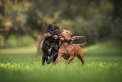 Female American Pit Bull Terrier and male Cane Corso Italiano playing with a knitted rope on green grass against the backdrop of a juicy summer landscape