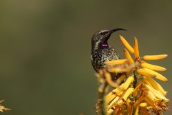 Female amethyst sunbird on top of a yellow aloe flower.