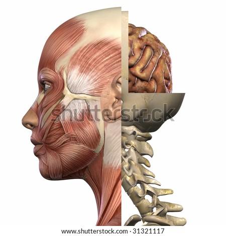Female Anatomy Body - stock photo