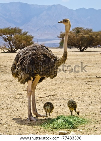 Female and babies of African ostrich in Hai-Bar Yotvata nature reserve, 25 km from Eilat, Israel - stock photo