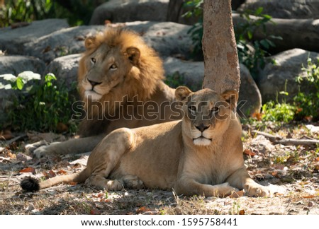 female and male lion resting in captive environment