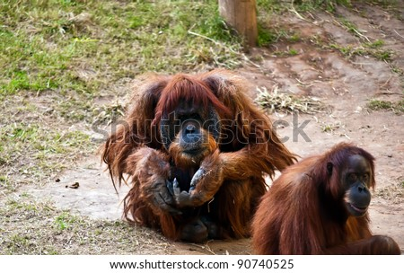 Female and male orangutan . Male orangutan sitting on the ground with outstretched hand.