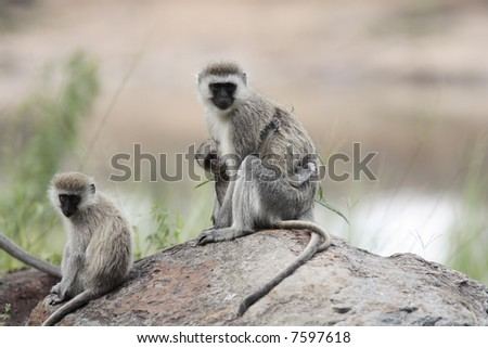 female and mother Vervet Monkey Chlorocebus with juvenile  in the masai mara reserve in kenya africa - stock photo