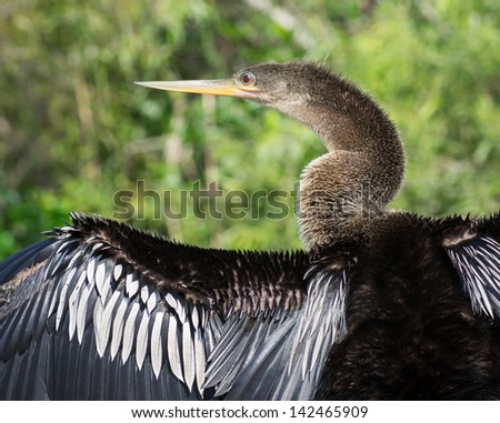 Female Anhinga Bird Drying its Outstretched Wings in the Florida Everglades