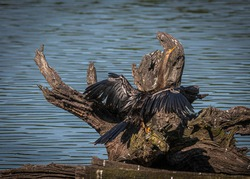 Female Anhinga sitting on a dead tree stump in a wetland swamp drying her wings in the evening sunlight.