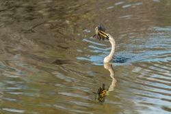 Female Anhinga with fish on beek in Florida wetland