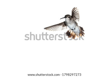 Photo of  Female Anna's hummingbird in flight with wings spread to the sides facing left on a white background