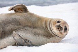 Female Antarctic fur seal (Arctocephalus gazella) on Half Moon Island in the South Shetland Islands, Antarctica.