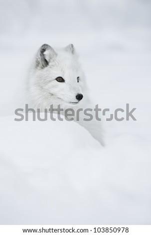 Female Arctic Fox in her full winter coat.