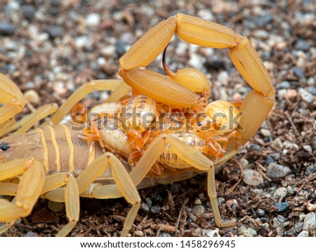 Baby-scorpion Images and Stock Photos - Page: 2 - Avopix com