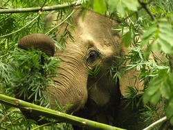 Female Asian elephant (Elephas maximus) foraging on bamboo in Northern Thailand