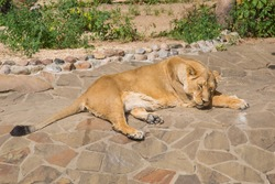 Female Asian lion (Latin: Panthera leo persica) resting on rocks against a background of green bushes on a clear sunny day. Animals mammals reptiles zoos.