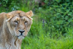 Female asiatic lion is a Panthera leo leo population surviving today only in India