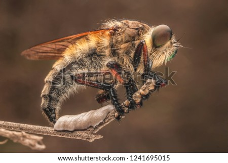 Female Asilidae are laying eggs,Female Asilidae deposit whitish-colored eggs on low-lying plants and grasses,or in crevices within soil, bark, or wood.
