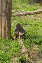 Female baboon Mandril takes care of her baby baboon in the shade of a tree in her pen at the zoo
