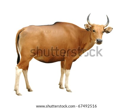 female banteng isolated