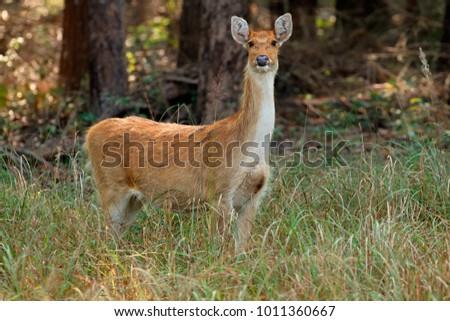 Female Barasingha or swamp deer (Rucervus duvaucelii), Kanha National Park, India