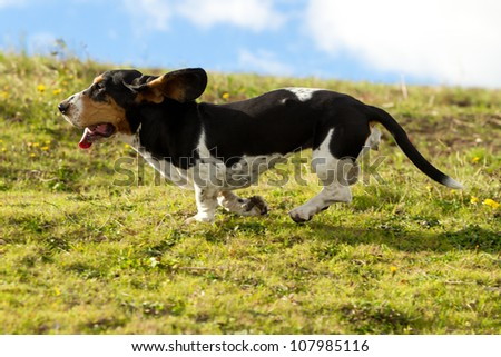 Female Basset Hound Chasing Prey Shot From Low Angle At Full Run Speed  #107985116