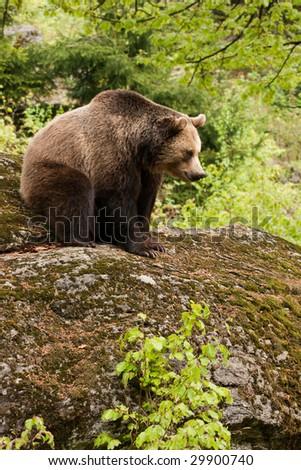 Female bear sitting on the rock.