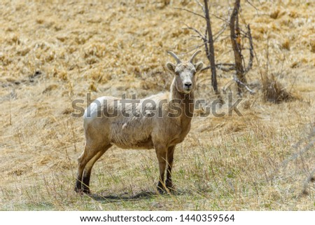 Female Bighorn Sheep - A closeup view of a mature and strong female bighorn sheep standing on a hillside meadow in Rocky Mountain National Park on a sunny Spring day. Colorado, USA. #1440359564