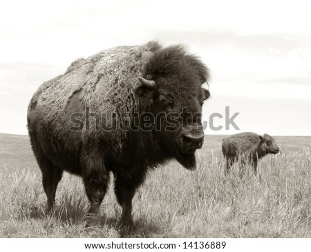 Female bison and newly born calf roaming the Western American prairie grass