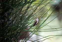 Female black chinned hummingbird perched delicately on a green bush in Arizona.  Quiet, watchful stance.
