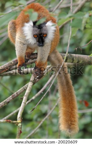 female black lemur passes from a branch to branch in searches of food