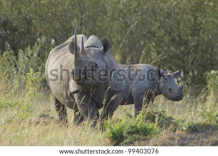 Female Black Rhino (Diceros bicornis) and calf in Kenya's Masai Mara