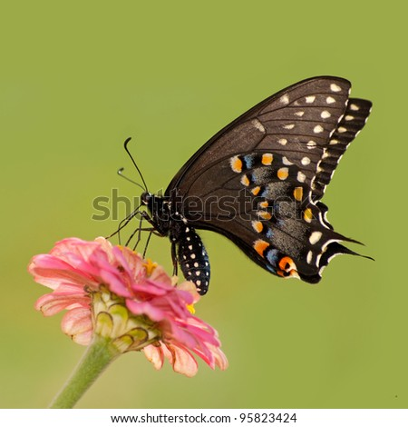 Female Black Swallowtail butterfly feeding on pink flower against bright green background