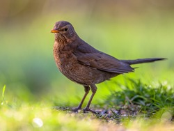 Female blackbird (Turdus merula) looking for food on the ground in an ecological garden with green background