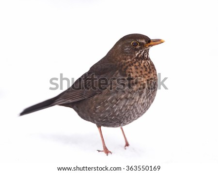 Female Blackbird (Turdus merula) resting on the ground in snow