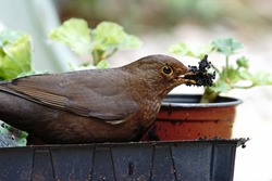 Female blackbird with a beakfull of peat taken from a garden to line her nest, The Cotswolds, Gloucestershire, UK