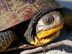 Female Blanding's Turtle