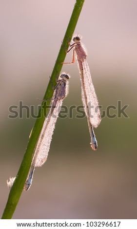 Female Blue-tailed Damselfly (Ischnura elegans) hanging to dry in the morning with some dewdrops